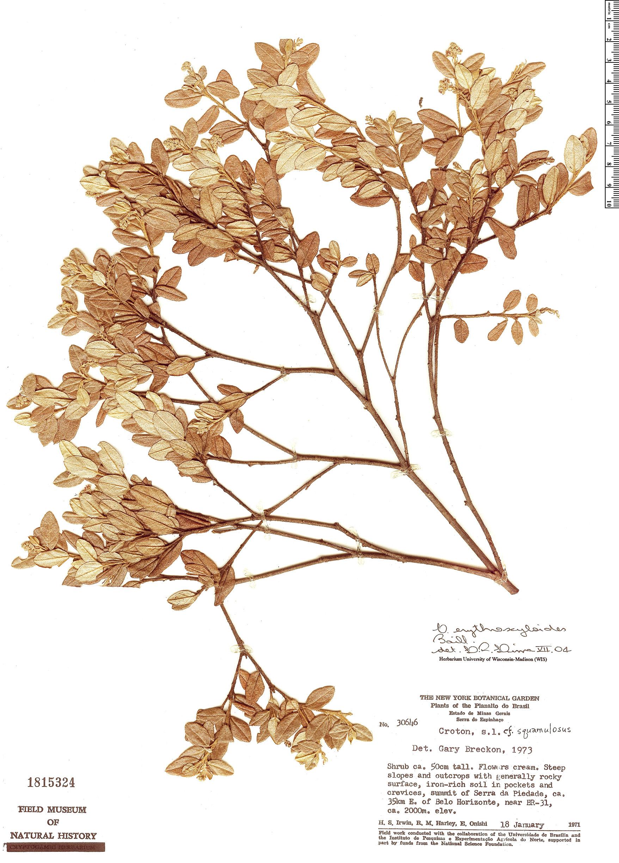 Specimen: Croton erythroxyloides