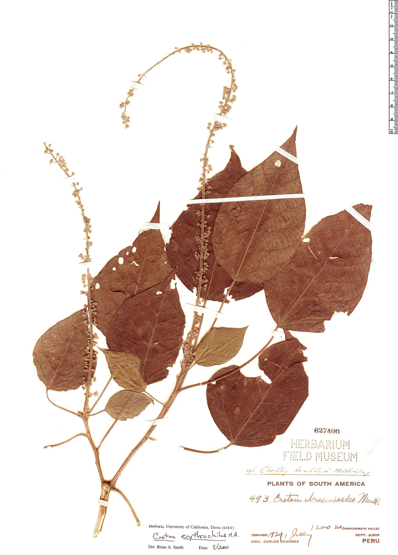 Specimen: Croton erythrochilus