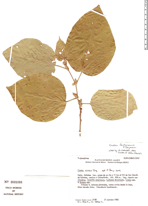 Espécime: Croton fantzianus