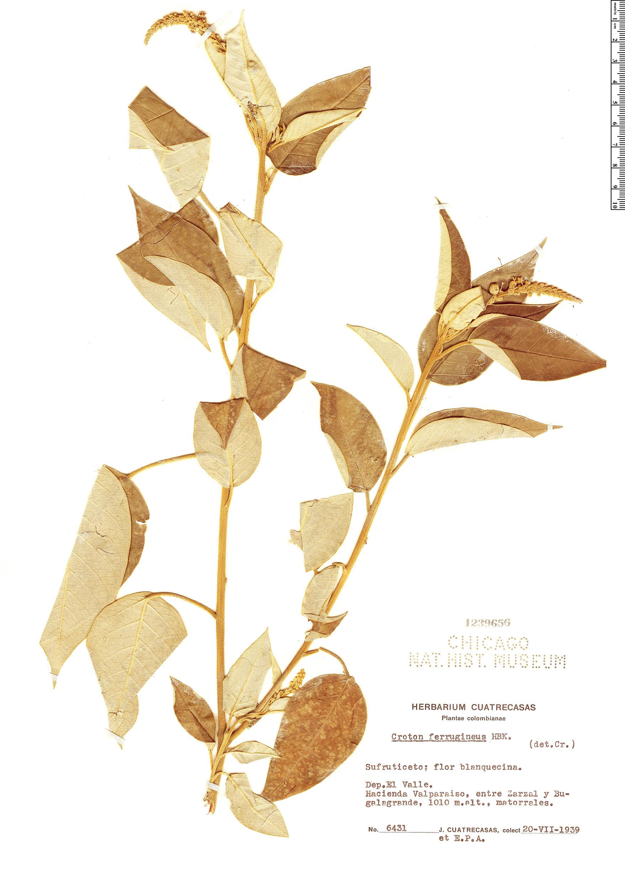 Espécime: Croton ferrugineus