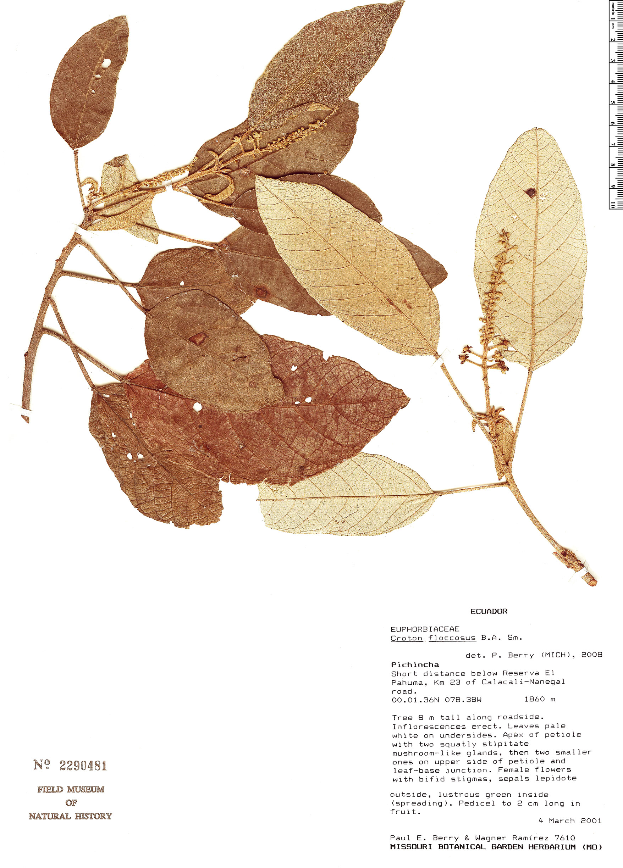 Specimen: Croton floccosus