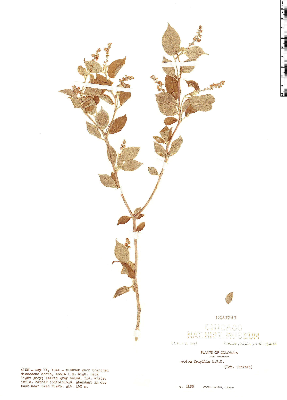 Specimen: Croton fragilis