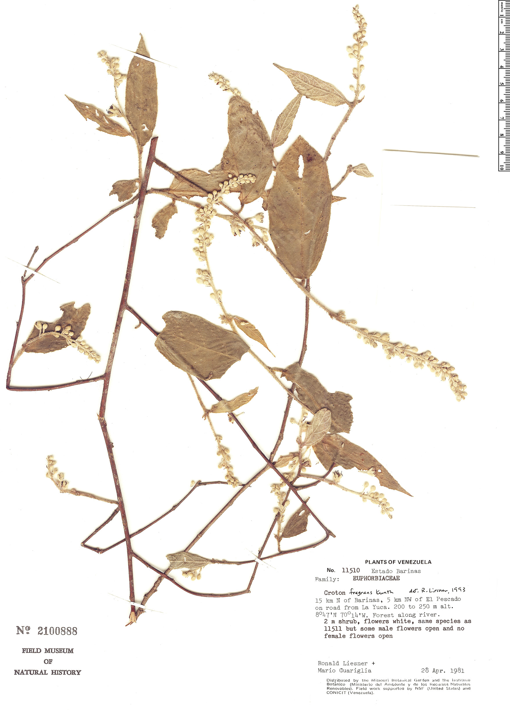 Espécime: Croton fragrans