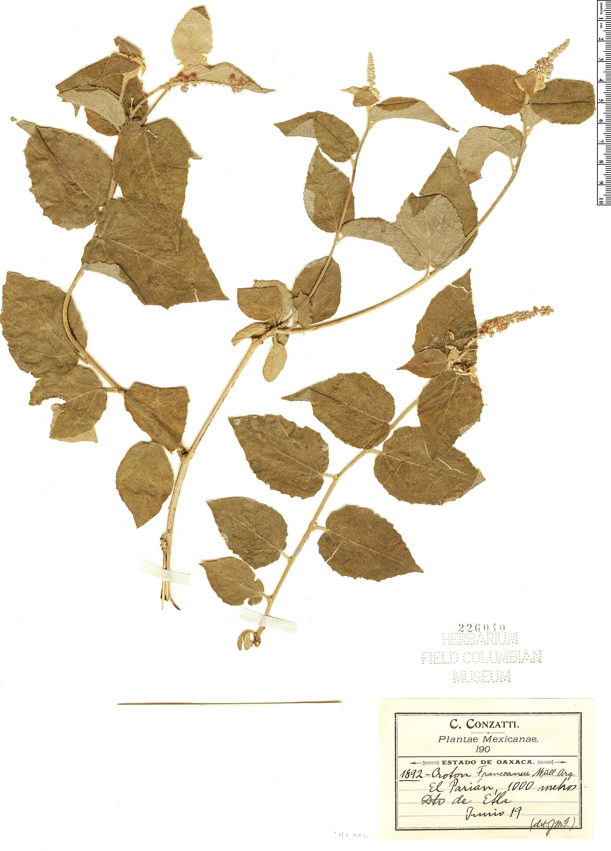 Specimen: Croton francoanus