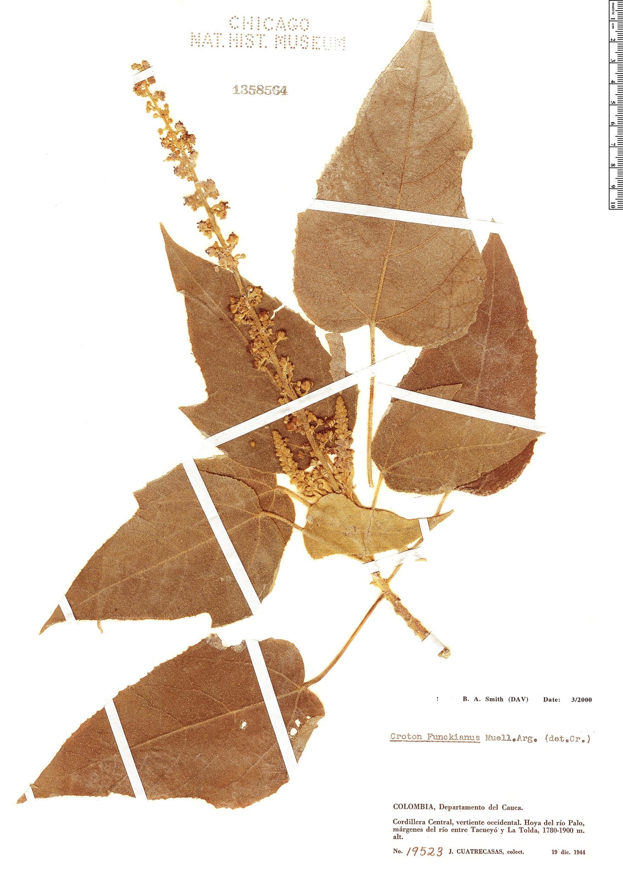 Specimen: Croton funckianus