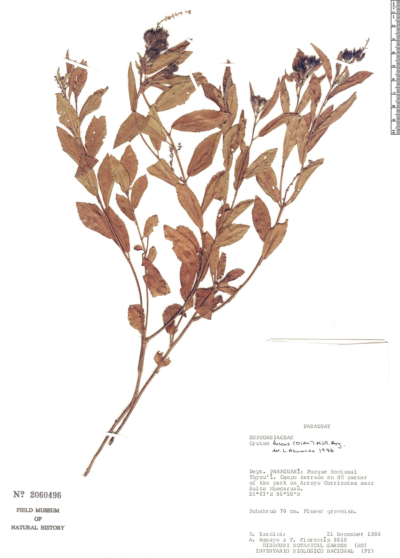 Specimen: Croton fuscus