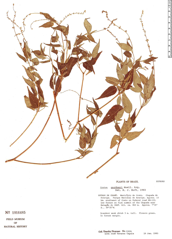 Specimen: Croton gardneri
