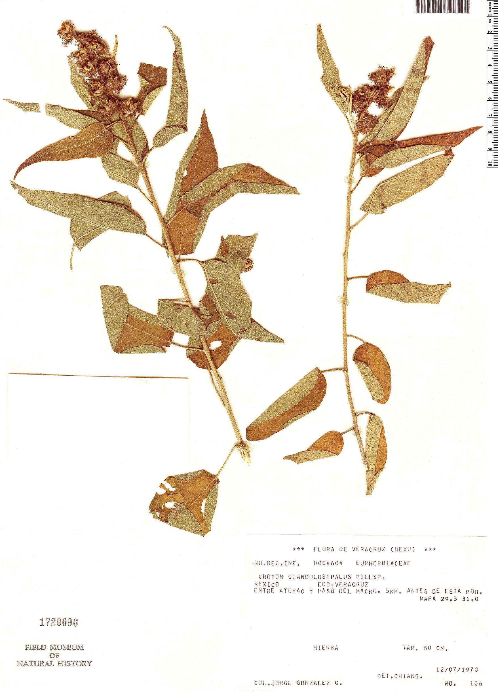 Specimen: Croton glandulosepalus