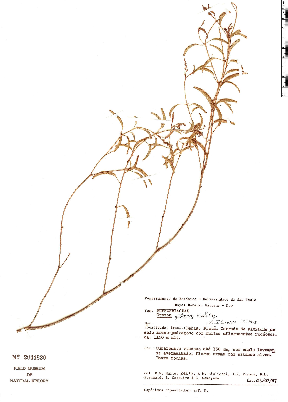 Specimen: Croton glutinosus