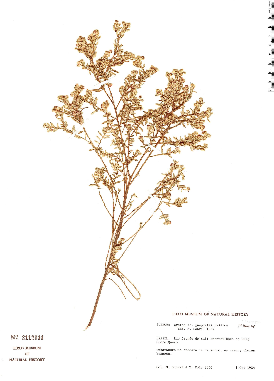 Specimen: Croton gnaphalii