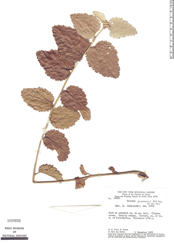 Specimen: Croton goyazensis