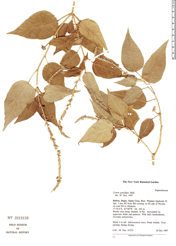 Specimen: Croton gracilipes