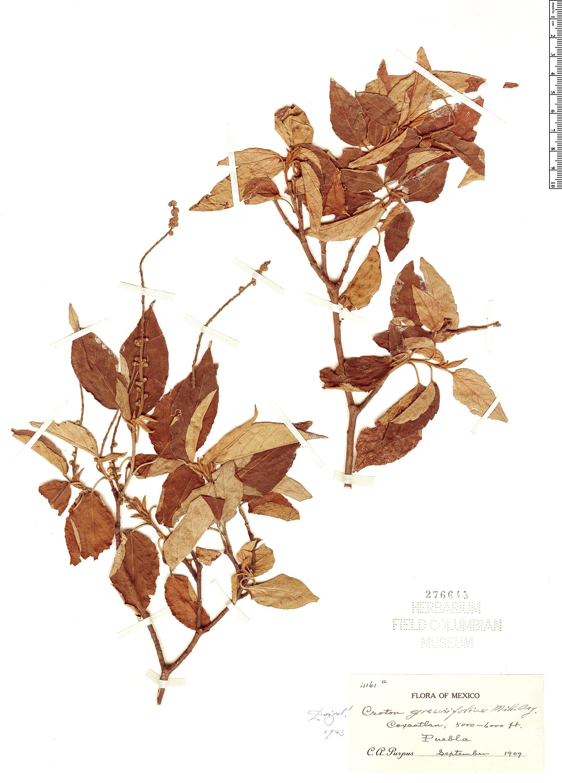 Specimen: Croton grewiifolius