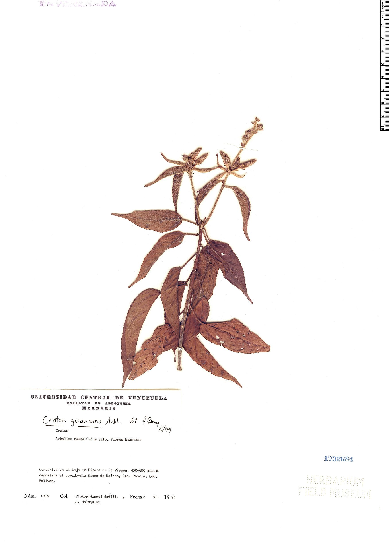 Specimen: Croton guianensis