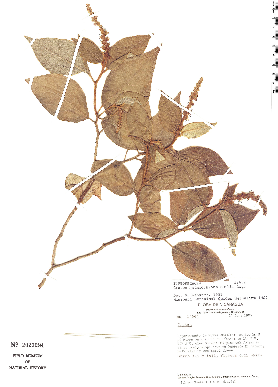 Specimen: Croton heterochrous