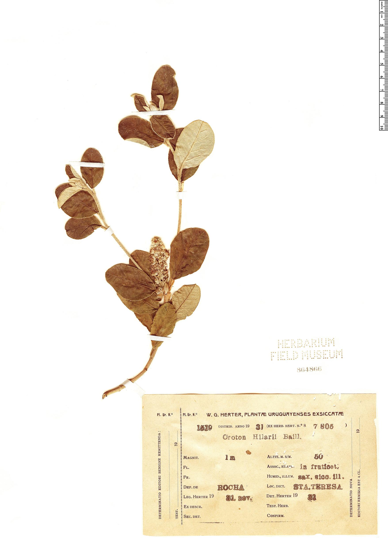 Specimen: Croton hilarii