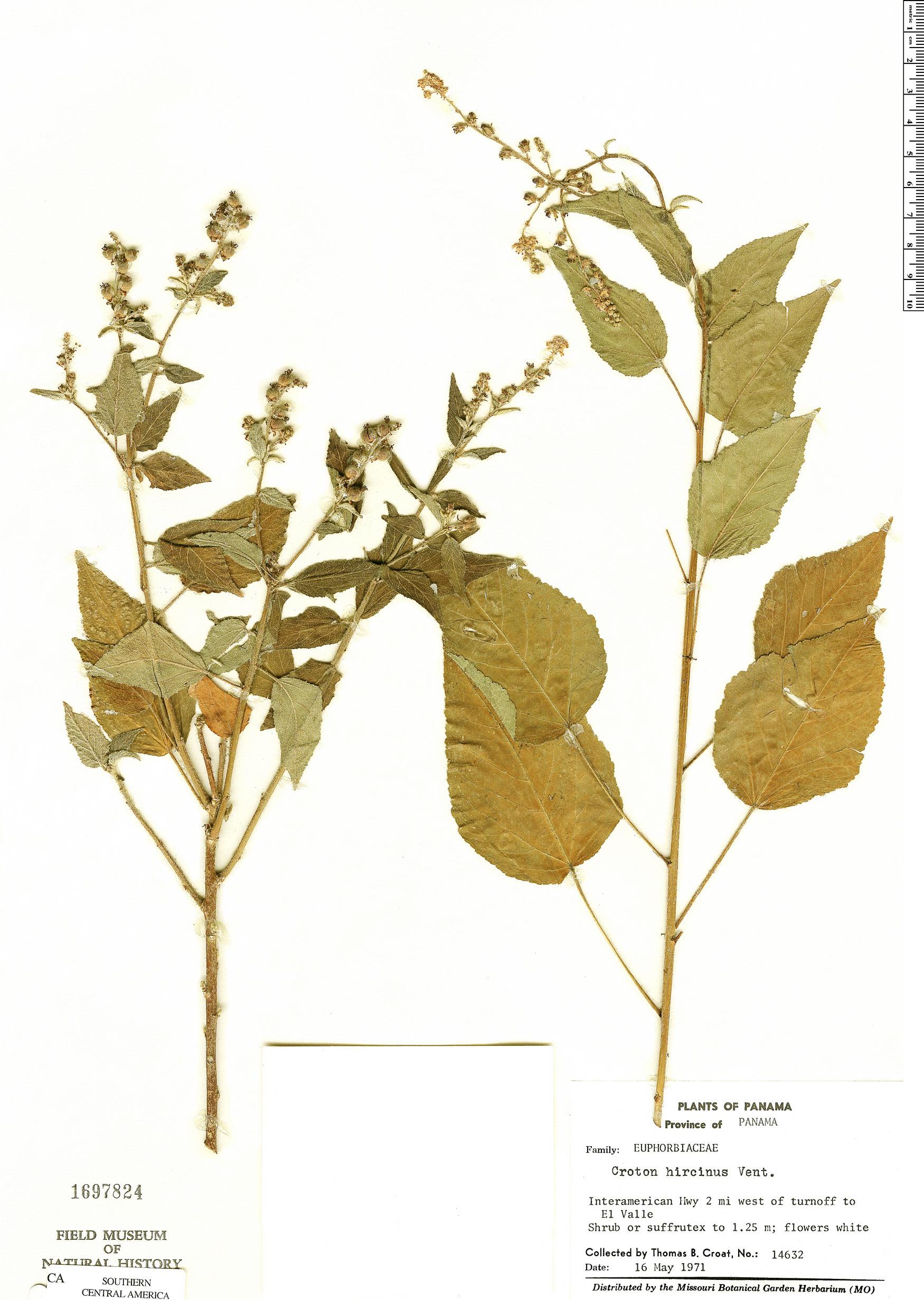 Specimen: Croton hircinus