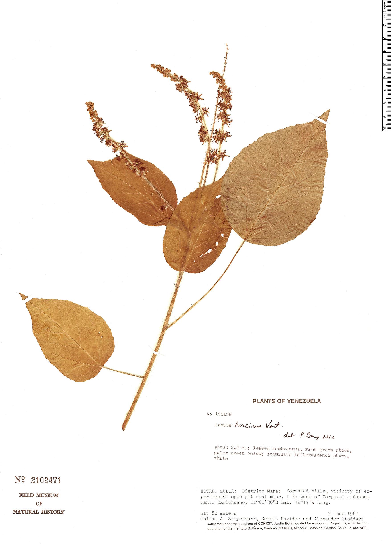 Espécimen: Croton hircinus