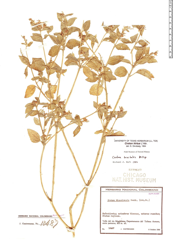 Espécimen: Croton hirtus