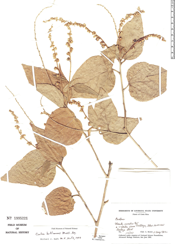 Specimen: Croton hoffmannii