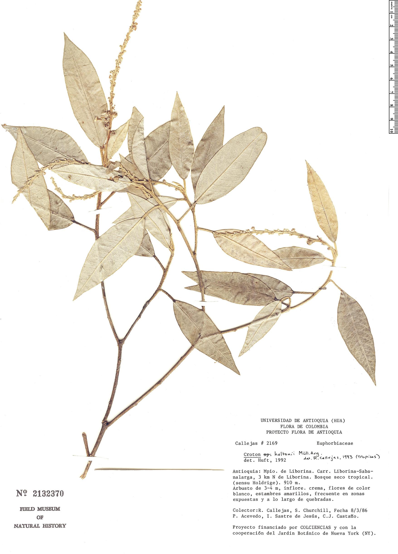 Specimen: Croton holtonii