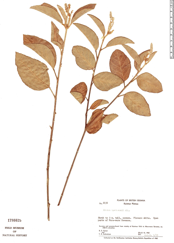 Specimen: Croton hostmannii