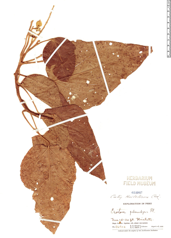 Specimen: Croton huitotorum
