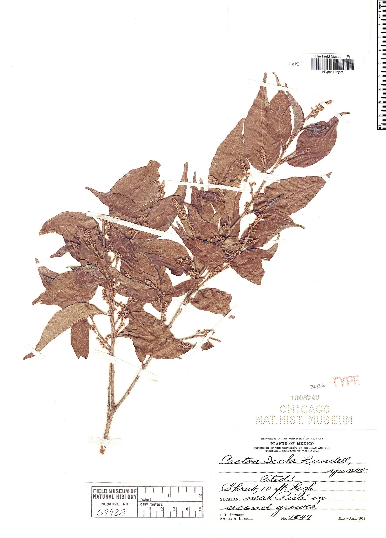 Specimen: Croton icche