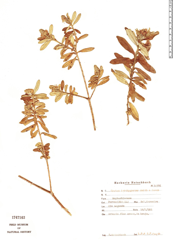 Specimen: Croton ichthygaster