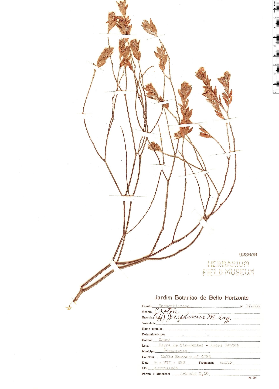 Specimen: Croton josephinus