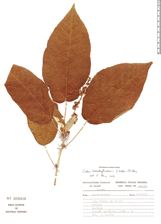 Specimen: Croton laceratoglandulosus