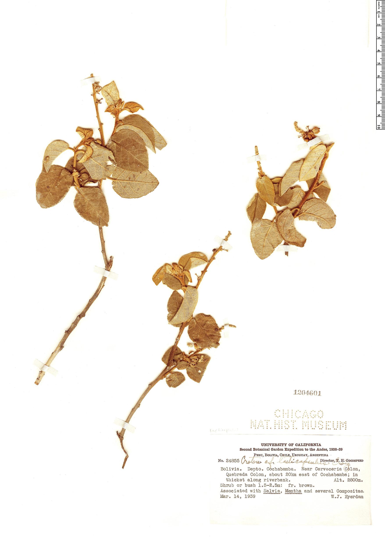 Espécimen: Croton laeticapsulus