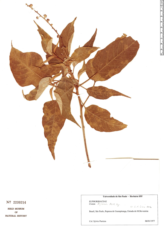 Espécimen: Croton lagoensis