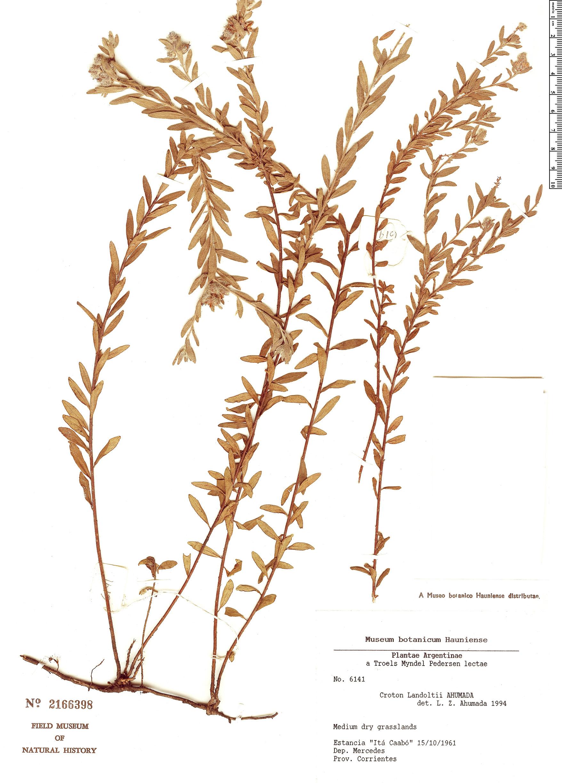 Specimen: Croton landoltii