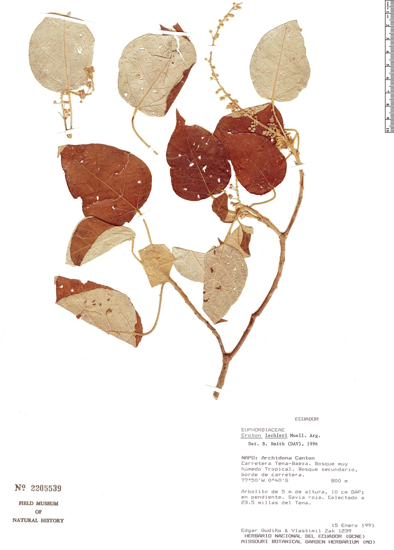 Specimen: Croton lechleri