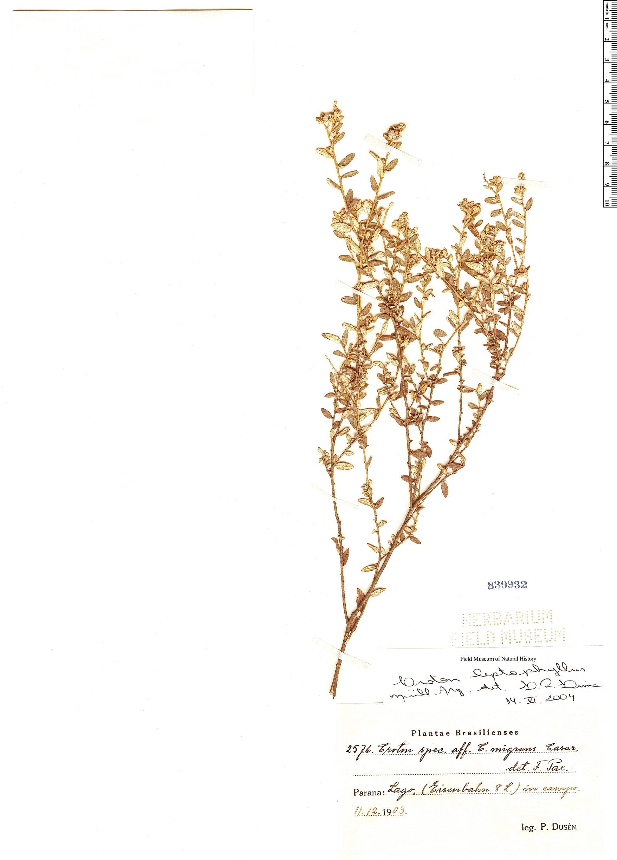 Specimen: Croton leptophyllus