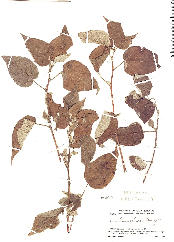Specimen: Croton limnocharis