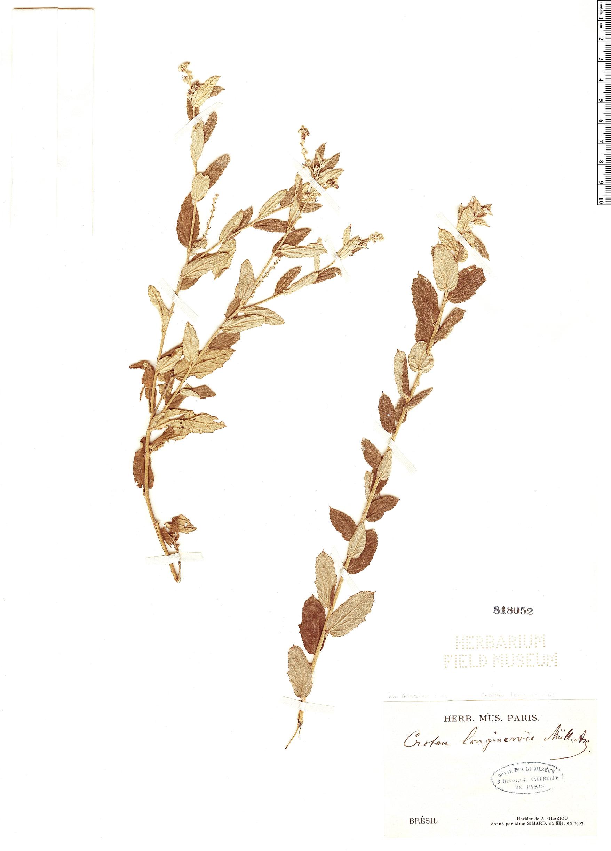 Specimen: Croton longinervius