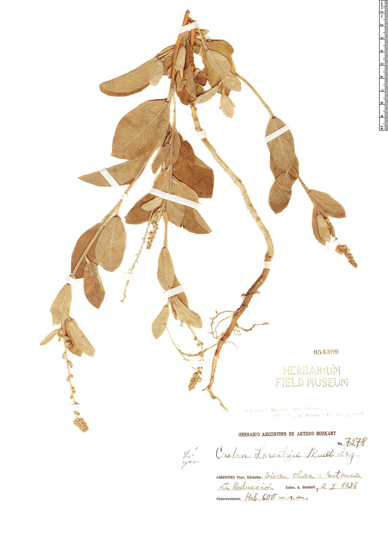 Specimen: Croton lanatus