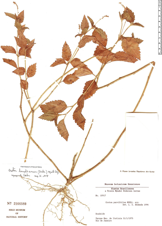 Specimen: Croton lundianus