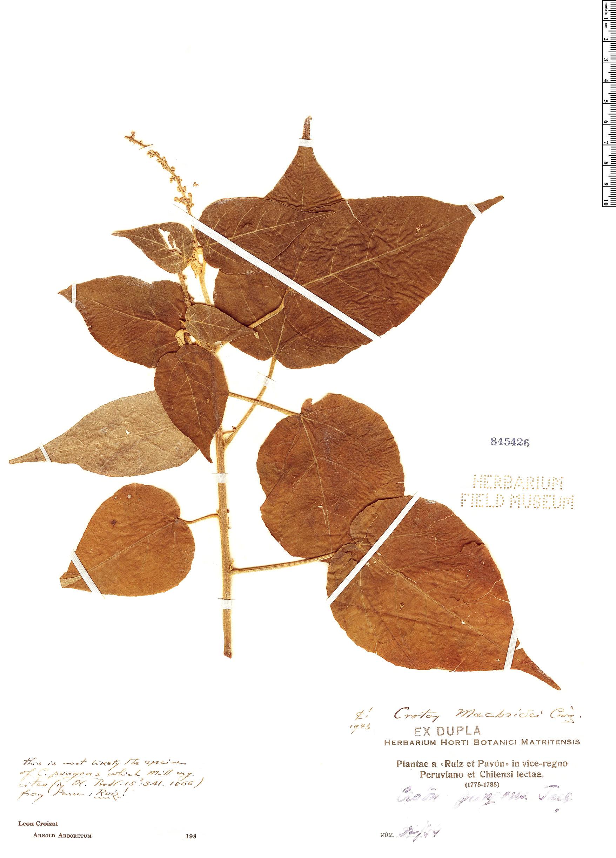 Specimen: Croton macbridei
