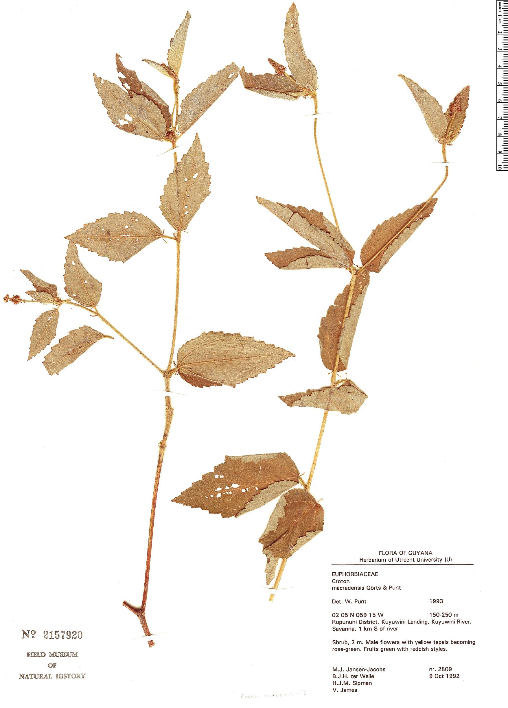 Specimen: Croton macradenis