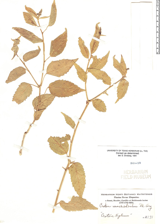 Specimen: Croton macrodontus
