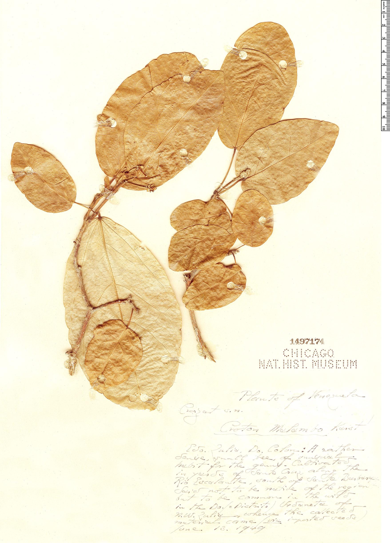 Specimen: Croton malambo