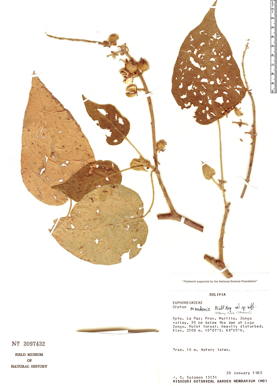 Specimen: Croton mandonis
