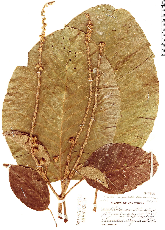 Specimen: Croton megalodendron
