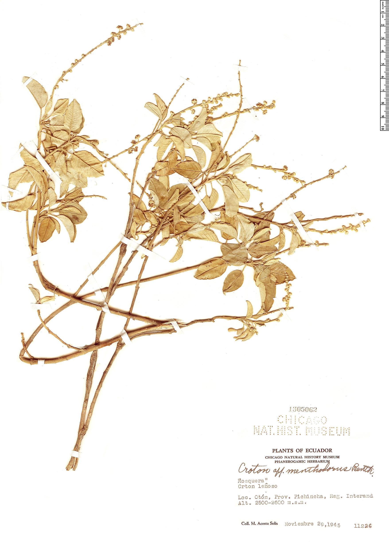 Specimen: Croton menthodorus