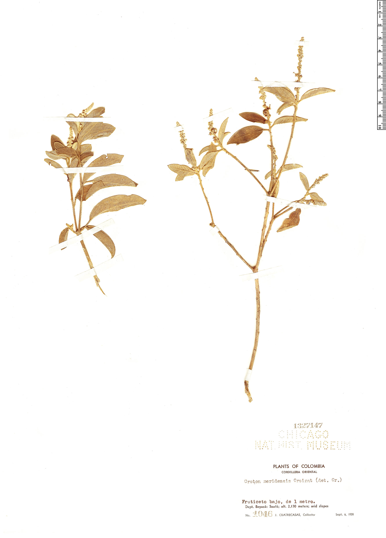 Espécime: Croton meridensis