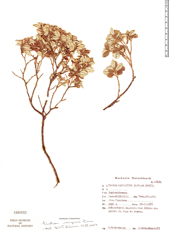 Specimen: Croton splendidus