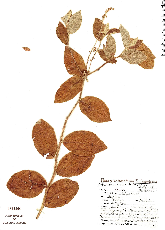 Specimen: Croton missionum